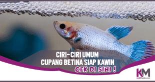 Inilah 6 Ciri-ciri Umum Ikan Cupang Betina Siap Kawin